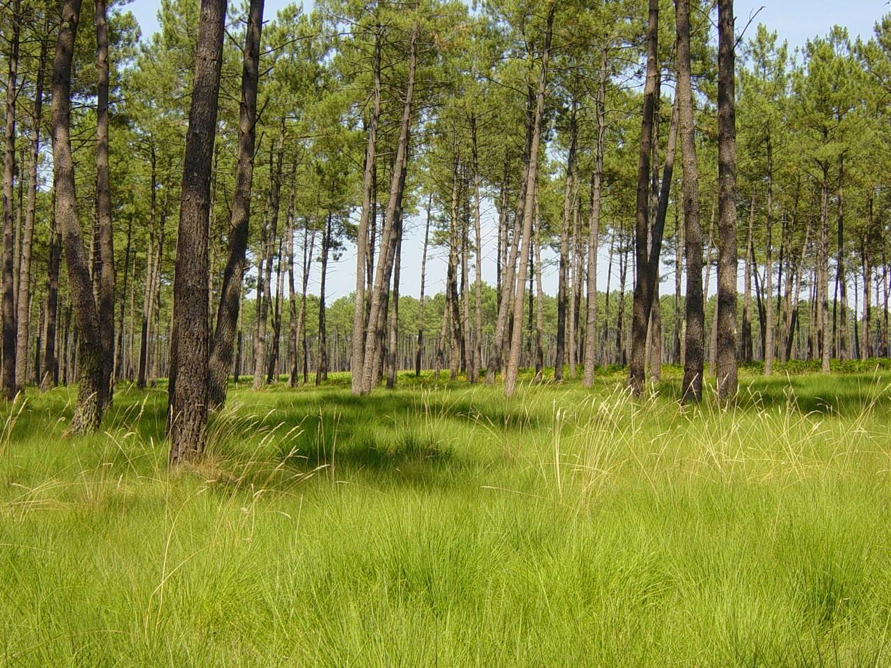 Forêt de grands pins