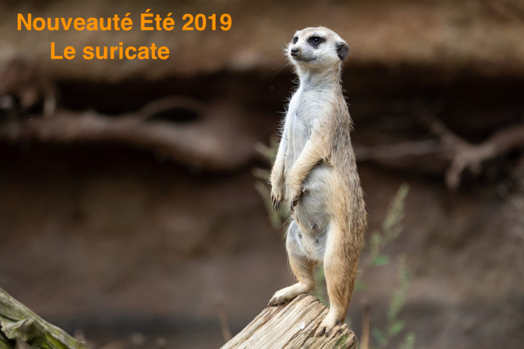 Suricate-1-zoo-labenne