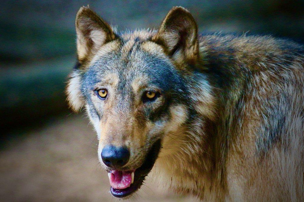 2.zoo-labenne-oti-LandesAtlantiquesud-loups