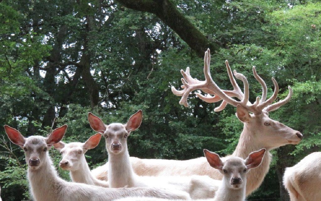 Moulin de Poyaller – Cerfs blancs