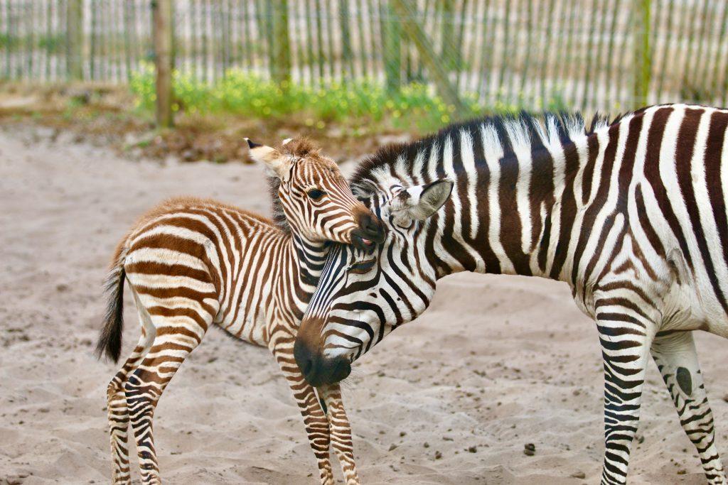 14.bebe-zebre-zoo-labenne-landes-atlantique-sud©zoo-labenne