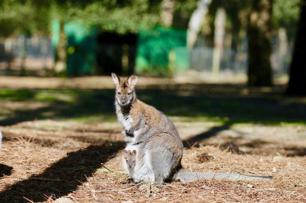 wallaby-2019-zoo-labenne